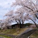 4月21日 しらい自然館のさくらが満開です♪